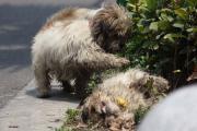 หมา สุนัข เฝ้า รัก รถชน ตาย นอน