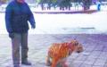 หนีกระเจิง! คุณลุงจูง เสือ เดินเล่นสวนสาธารณะ