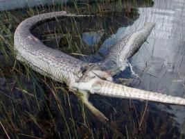 งูหลาม งู จระเข้ กิน สยอง งูหลามยักษ์