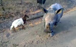 ห้าแสนวิวแห่ชม มิตรภาพระหว่างสองสัตว์กำพร้า - แรดกับแพะเพื่อนรัก
